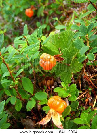 ripe cloudberries grow in the wild nature