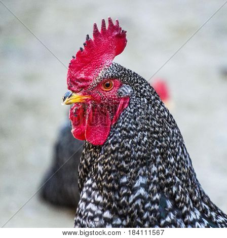 The most beautiful cock pictures for the most beautiful projects,