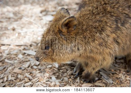 Closeup of brown furry quokka, marsupial, roaming free in it's natural habitat at Rottnest Island in Western Australia.