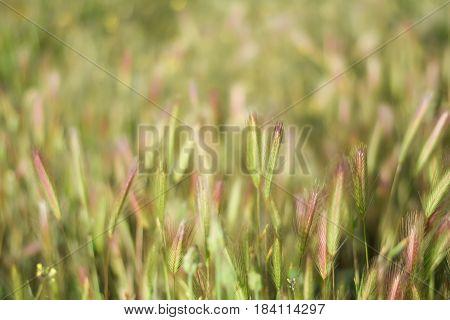 Grassfield landscape at sunrise. Backlight. Hordeum. Poaceae.