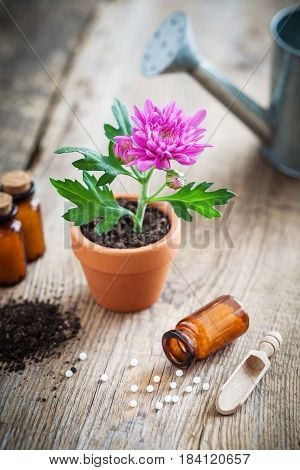 Homeopathic Remedies For Plant And Crops, Chrysanthemum Flower In Pot And Watering Can. Natural Alte