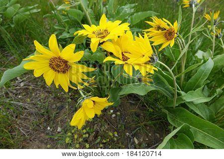 Arrowleaf Balsamroot blooms during Spring in Western USA