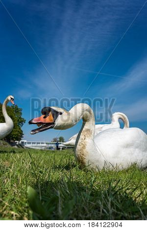 White swan eating and relaxing on the green grass of the riverbank poster