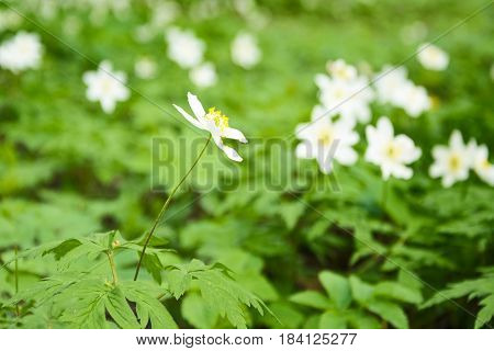 Snowdrop spring flowers. Snowdrop forest. Forest glade with spring primroses. spring flower