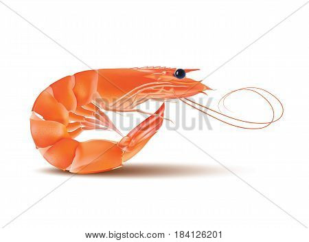 Vector Shrimp, Seafood. Prawn With head and legs. Illustration isolated on white background