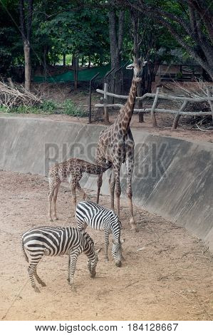 Son suckling from his Mom's is Specie Giraffa camelopardalis family of Giraffidae and zebra.
