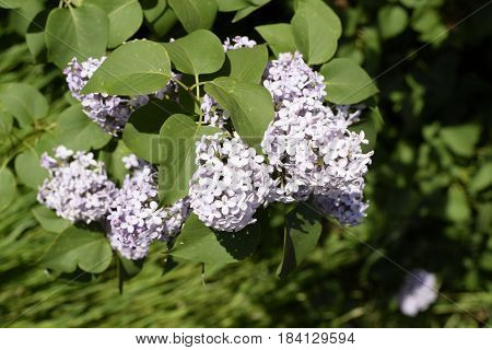 Lilac Flowers On The Branches. Beautiful Purple Lilac Flowers Outdoors.