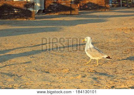 Seagull walking on an empty sandy beach at sunset in summertime