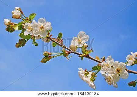Blooming Cherry Twig Close-up