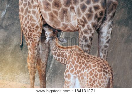 Son suckling from his Mom's is Specie Giraffa camelopardalis family of Giraffidae.