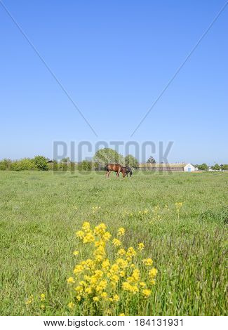 Horses On The Grass In The Pasture. Yellow Flowers On A Horse Background