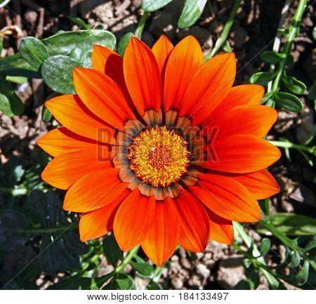 Beautiful big flower of red gazania closeup