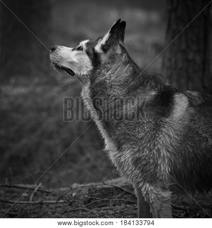 dog, an Alaskan malamute, a girl, standing in a forest near a tree, looking up, sniffing air, a hunter, beautiful and fluffy, gray, white and black, wet hair,black and white photo