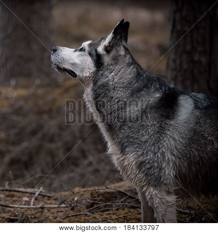 dog, an Alaskan malamute, a girl, standing in a forest near a tree, looking up, sniffing air, a hunter, beautiful and fluffy, gray, white and black, wet hair,darkens and in the woods evening