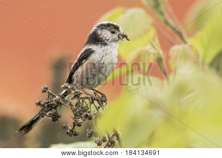 Long-tailed tit (Aegithalos caudatus) with insects in beak. Adult bird in the family Aegithalidae collecting invertebrates to feed chicks in nest