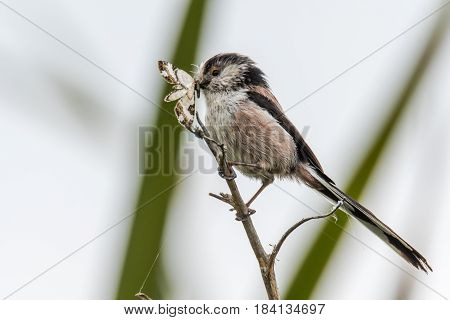 Long-tailed tit (Aegithalos caudatus) with moth in beak. Adult bird in the family Aegithalidae collecting invertebrates to feed chicks in nest