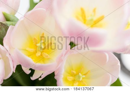 Tulips close up - three flowers in