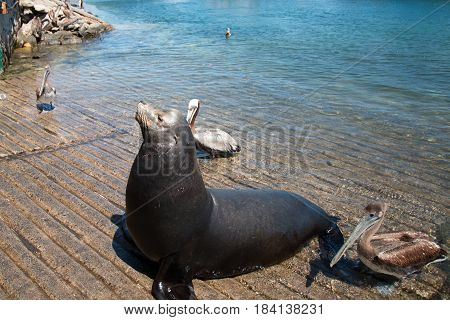 Sea Lion and Pelicans on the marina boat launch in Cabo San Lucas Mexico BCS