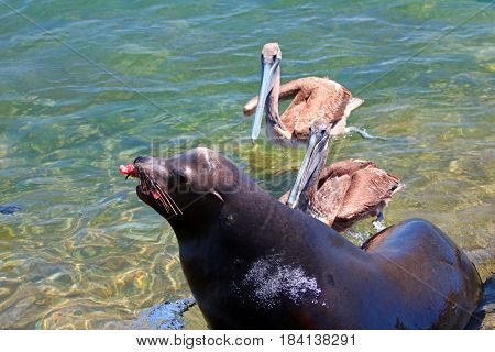 Caifornia Sea Lion fighting for fish scraps with Pelicans near Cabo San Lucas Baja Mexico