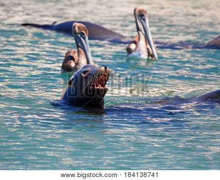 Caifornia Sea Lion swimming with two Pelicans near Cabo San Lucas Baja Mexico