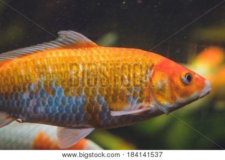 A Large Orange Fish In A Aquarium
