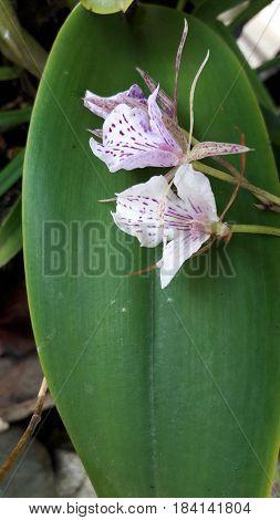 Orquídea silvestre nacida en el trópico domimicano