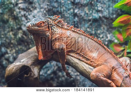 Caiman Lizard Dracaena Guianensis , A Large Green And Red Reptile Native To South America