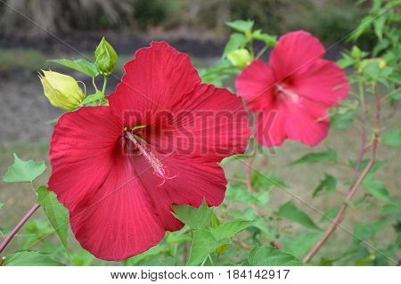 Hibiscus bloom large and red show off in the garden.