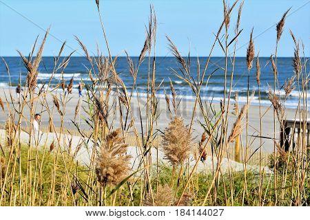Sea Oats grow along the sand dunes on the Atlantic Coast.