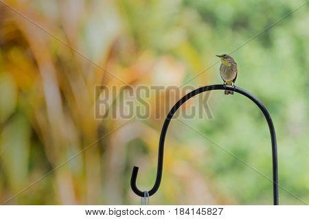 Finch bird sitting on a shepards hook