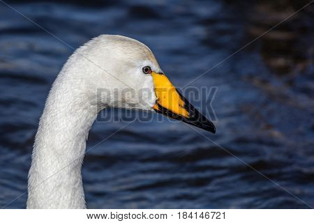 Whooper Swan In The Lake Tjornin In Iceland.