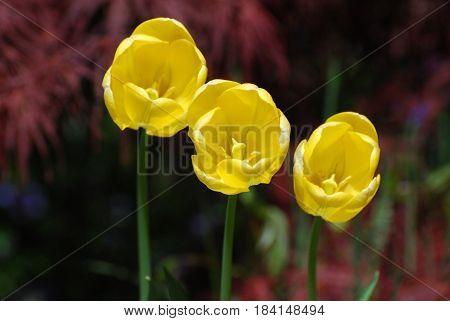 Very pretty flowering yellow tulip trio in a garden.