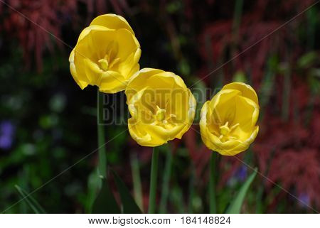 Three yellow flowering tulips blooming in a garden.