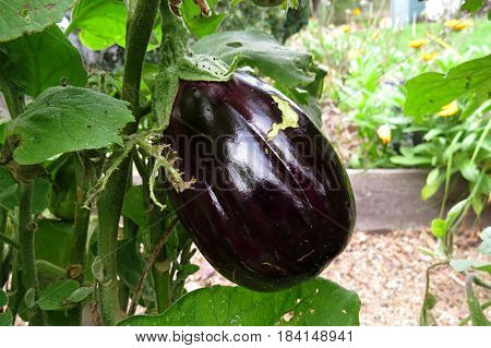Ripe eggplant aubergine ready to be picked in a vegetable patch garden