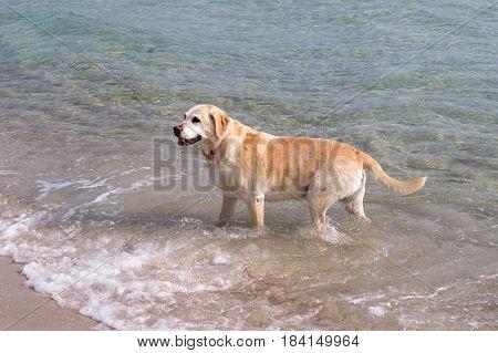 Labrador dog enjoying sea water and walk along beach