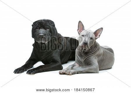Beautiful old black purebred shar pei dog and cute blue thai ridgeback puppy lying. Isolated on white background. Copy space.