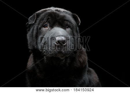 Beautiful old black purebred shar pei dog sitting on black background. Copy space.