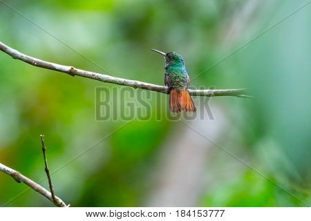 The rufous tailed hummingbird (Amazilia tzacatl) sits on the branch. Costa Rica