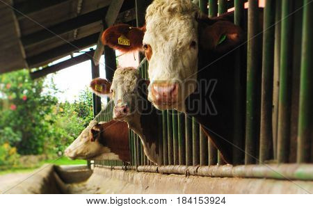 Simmental cows posing from a dairy farm in Colombia