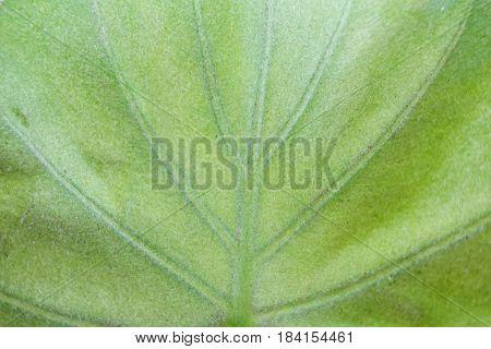 Syngonium Podophyllum,nephthytis' Beautiful Leaves Macro View