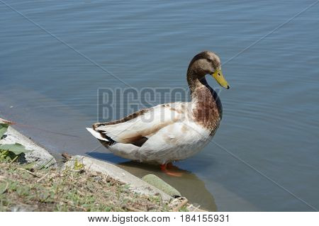 Wild mixed breed domestic and mallard duck drake with brown toned head feathers at edge of lake shore