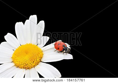 ladybug sits on a chamomile flower a close up macro. ladybird on flowers camomile