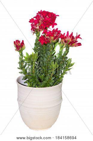 A Flower Pot Wiht A Crassula Cotyledon Plant.