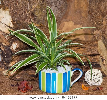 Spider Plant In A Colorful Cup.