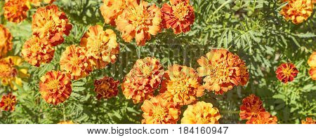 Bright colored floral marigold background with golden yellow flower blooms and green foliage leaves
