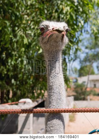 Ostrich or Common Ostrich (Struthio camelus) reared in a fence for tourists in Vietnam.