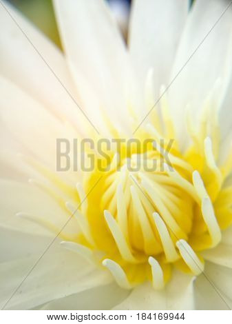 Beautiful White Lotus Or Water Lily In The Pond.