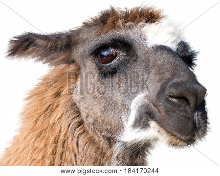 very Beautiful lama portrait on a white background