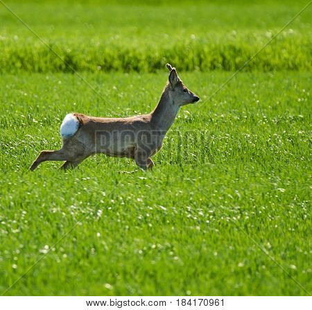 Roebuck On A Wheat Field
