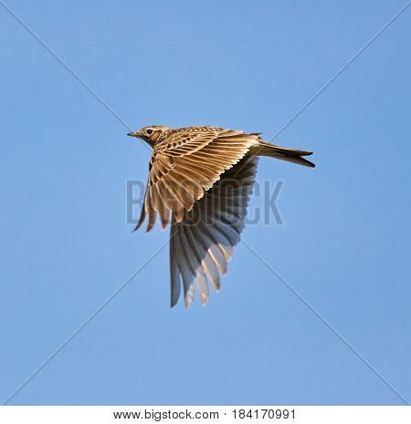Wood Lark In Flight